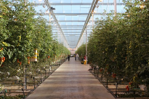 The tomatoes grow in rows within a seven-acre greenhouse.