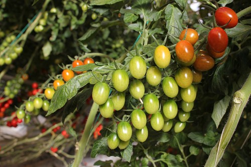 Grape tomatoes, another variety they're testing