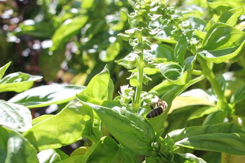 Bee is for basil