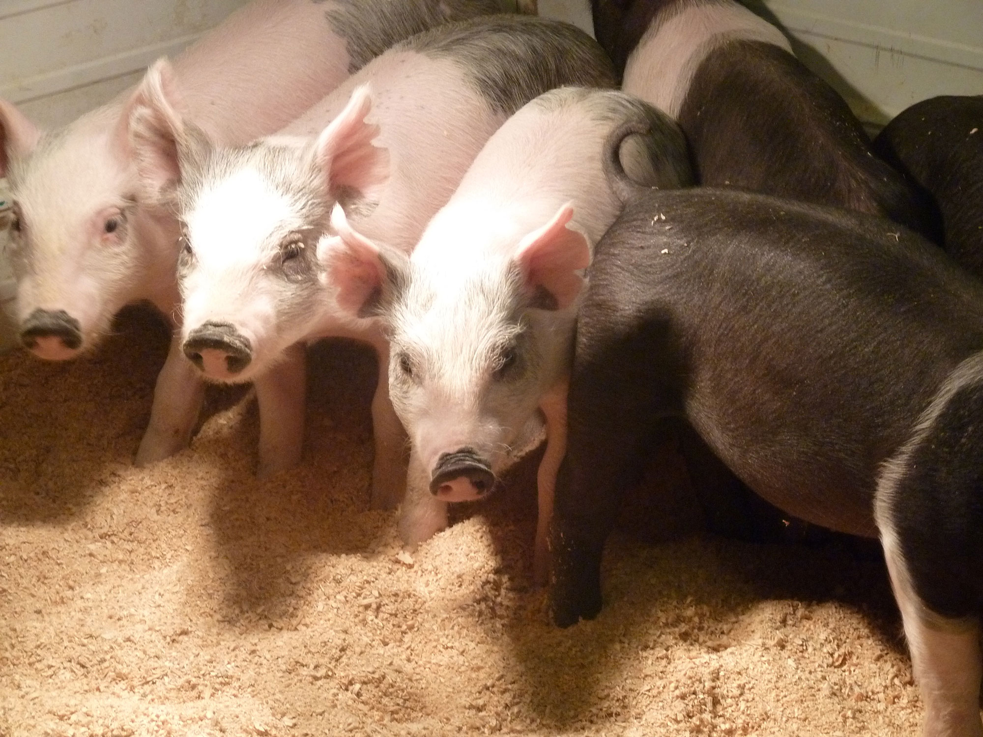 THE STORY OF HOW THE MIDWEST WAS WON—BY PIGS